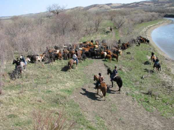 Moving Cattle to North End of Ranch