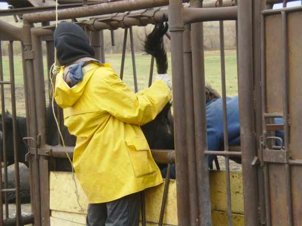 Working with Cattle in the Chute